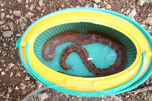 Veliki morski crv