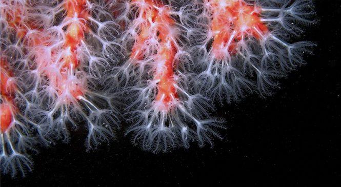 Crveni koralj