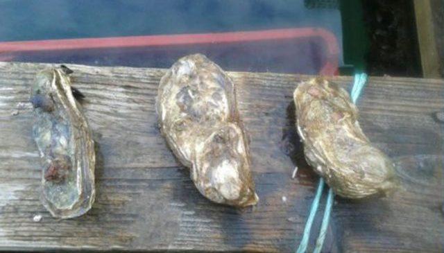 Istraživanje brojnosti staništa invazivne kamenice