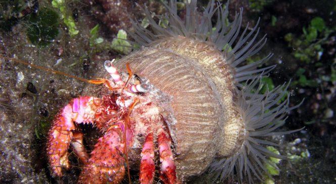 Kosmati rak samac (Dardanus calidus)