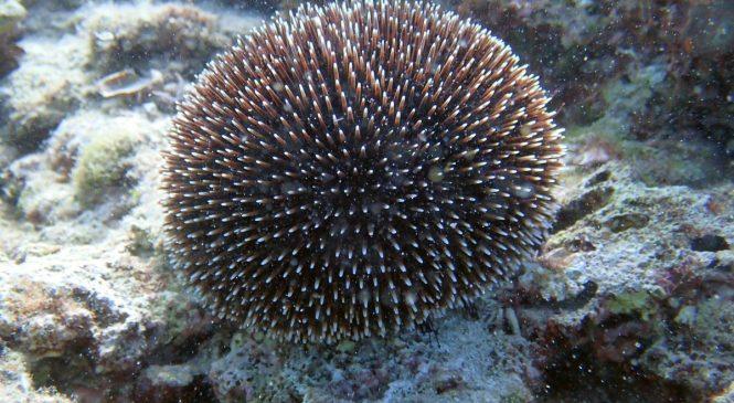 Pjegavi ježinac