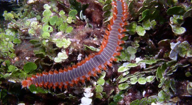 Vatreni crv (Hermodice carunculata)