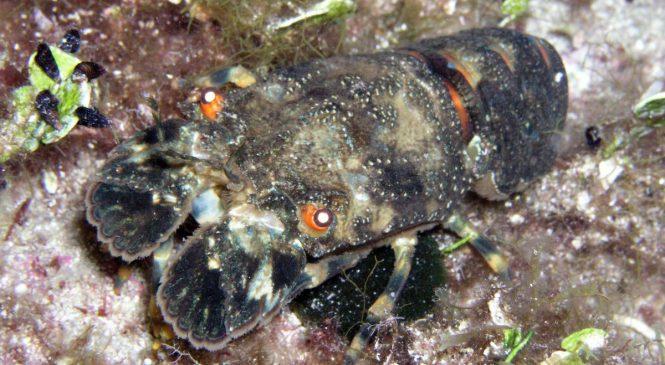 Zezalo (Scyllarus arctus)