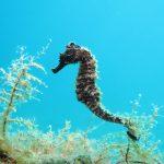 Morski konjici – ekološki manekeni