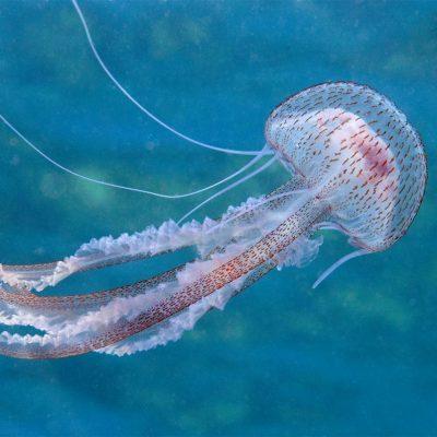 Na jugu Istre pojavila se morska mjesečina (Pelagia noctiluca)