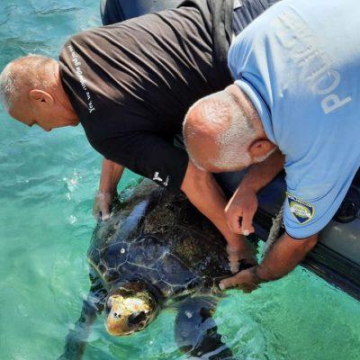 Spašavanje velike glavate želve