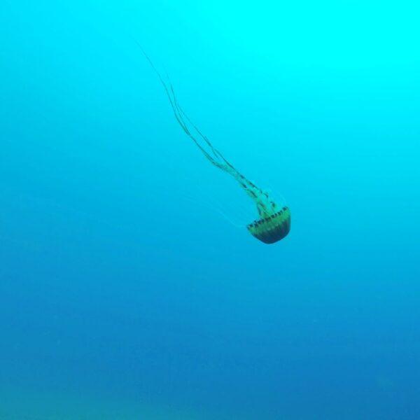 Kompas meduza u Jadranu